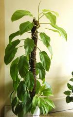 Philodendron grimpant