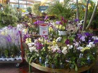 Orchidées en jardinerie