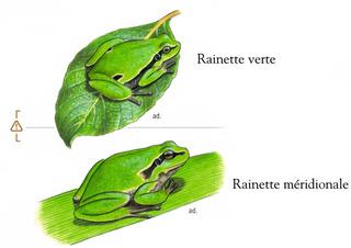 Identifier la rainette