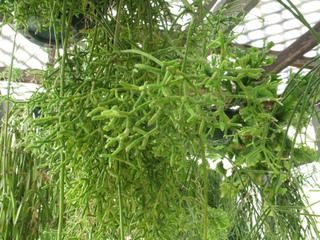 Rhipsalis cereuscula : cactus épiphyte