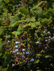 Ribes sanguineum - Fruits