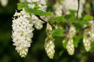 Ribes sanguineum - Fleurs blanches