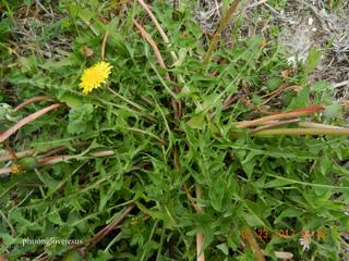Pissenlit - Taraxacum officinale