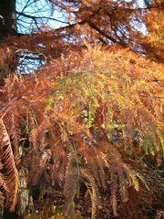 Taxodium distichum - Feuillage en automne