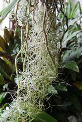 Tillandsia usneoides et racines aériennes d'orchidée
