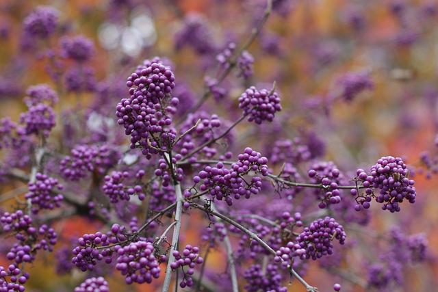 8 beaux arbustes à baies décoratives