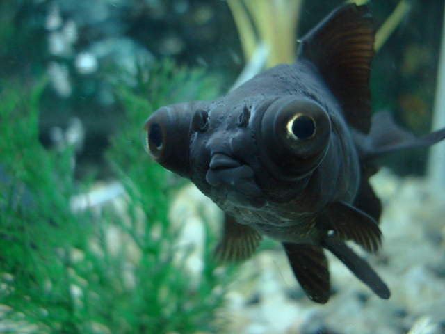 Choisir des poissons pour le bassin for Poisson rouge gros yeux