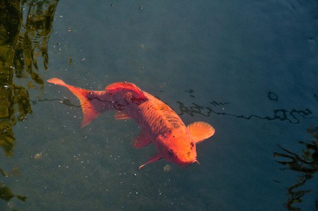 Choisir des poissons pour le bassin for Bassin a poisson eau trouble