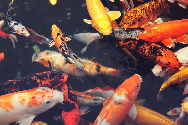 Choisir des poissons pour le bassin for Croisement carpe koi poisson rouge