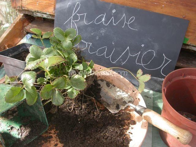 fraisiers en pots suspendus plusieurs plantes donnent un rendement plutt intressant image. Black Bedroom Furniture Sets. Home Design Ideas