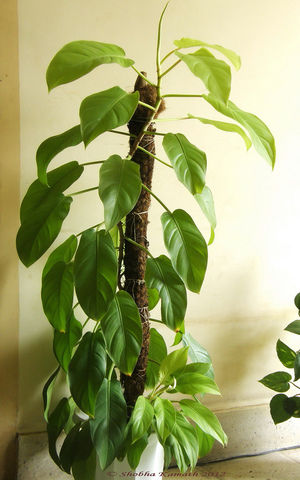 Philodendron monstera culture entretien esp ces - Support plante interieur ...