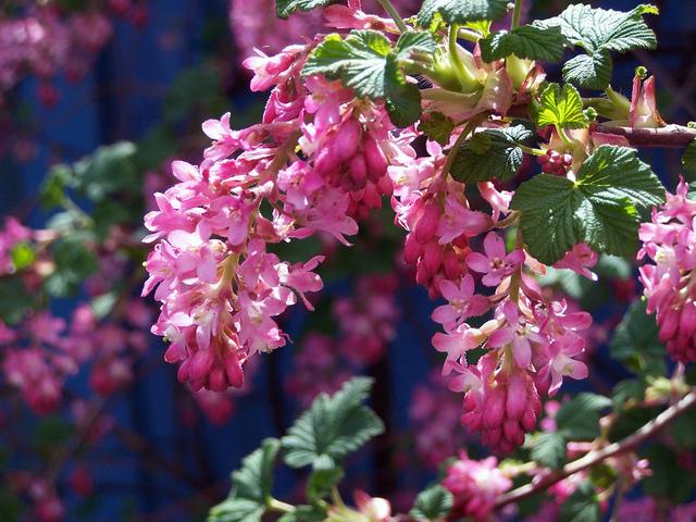groseillier à fleurs : culture, entretien, variétés