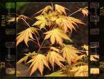 Erables du Japon : du merveilleux dans nos jardins