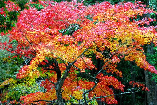 Les rois de l'automne (Les plus beaux feuillages d'automne)