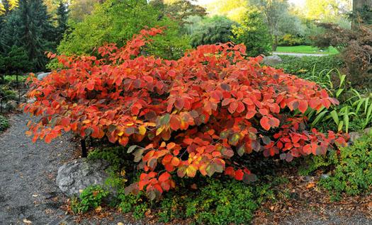 Entrée en scène de l'Hamamelis (Les plus beaux feuillages d'automne)