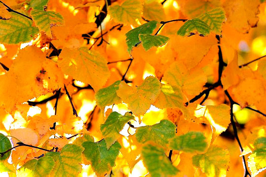Les bouleaux mettent de l'or dans nos fôrets (Les plus beaux feuillages d'automne)