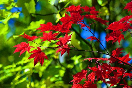 Acer palmatum 'Osakazuki' (Les plus beaux feuillages d'automne)