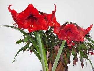 Amaryllis et schlumbergera