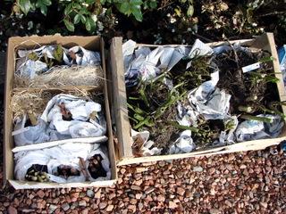 Bégonias tubéreux et dahlias prêts pour l'hivernage