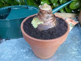 Bulbe d'amaryllis en pot