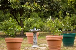 Agrumes en pots