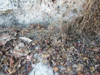 Cymbalaire des murailles sèche : graines
