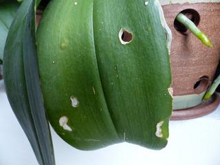 Dégats limaces ou escargots sur orchidée phalaenopsis
