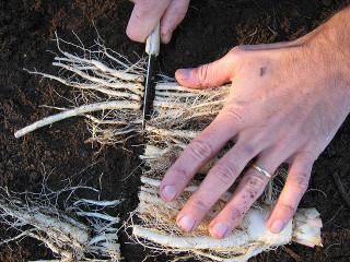 Raccourcissage des racines d'endive