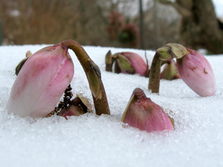 Helleborus niger - Floraison hivernale / Tie Guy II