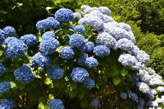 Hortensia bleu (Hydrangea macrophylla)