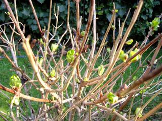 Hortensia en hiver (février)
