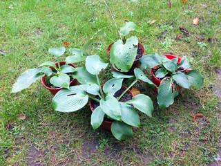 Les jeunes plants d'hosta