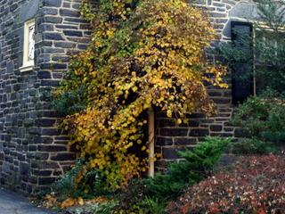 Hortensia grimpant en automne