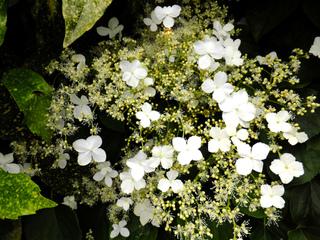 Fleurs d'hortensia grimpant