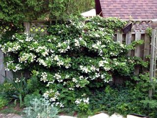 Hortensia grimpant : Hydrangea petiolaris, H. seemanii, H. 'Semiola', ...