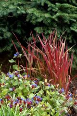 Imperata cylindrica Red Baron - Ceratostigma