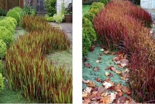 Imperata cylindrica Red Baron, printemps et automne