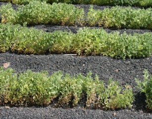 Semer, cultiver et récolter des lentilles