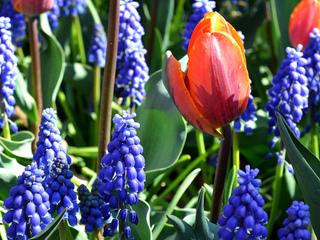 Muscaris bleus et tulipes rouges