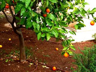Oranger en pleine terre