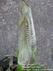 Maladie cryptogamique sur orchidée