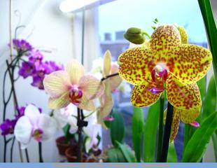 Orchidee : engrais special et fertilisation