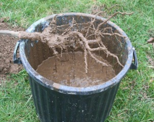 Pralinage de racines d'un arbre fruitier