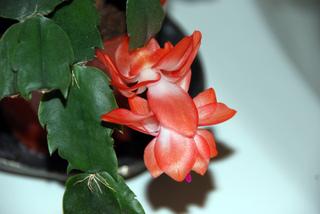 Cactus de Noël (Schlumbergera x buckleyi)