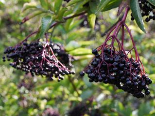 Sureau noir - Sambucus nigra