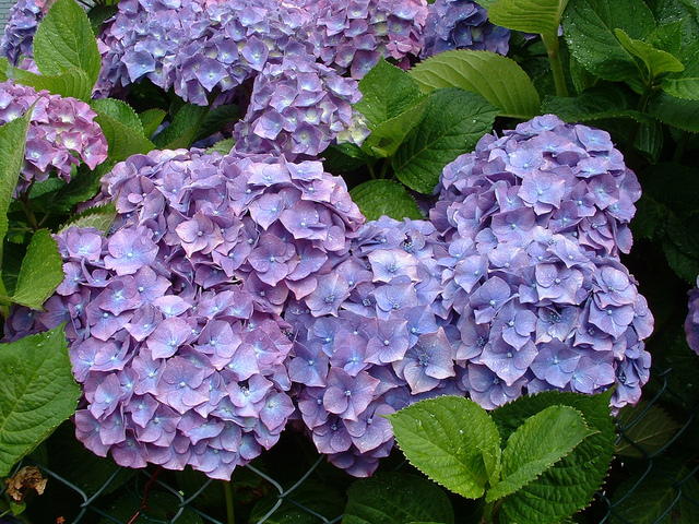 Hortensia - Comment planter un hortensia ...