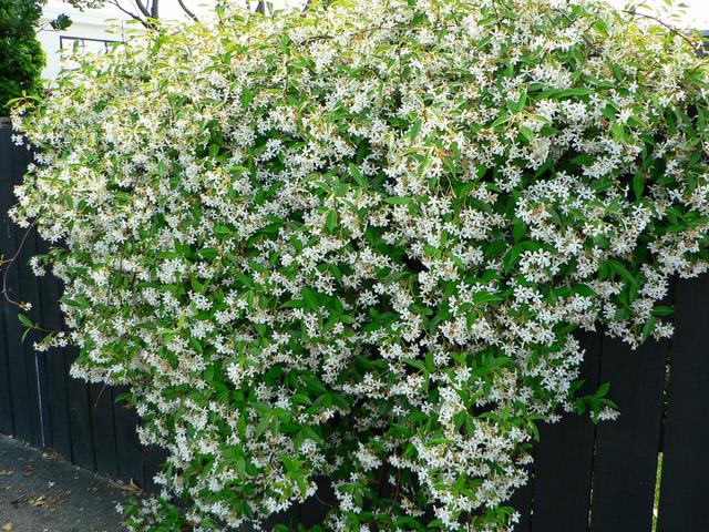 Tailler le ch vrefeuille et le jasmin - Jasmin d hiver blanc ...