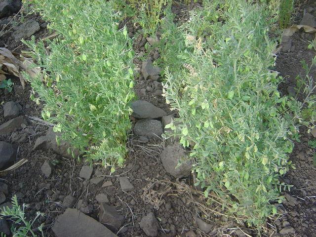 00cd694143e77c Culture de la lentille   l étape des semis