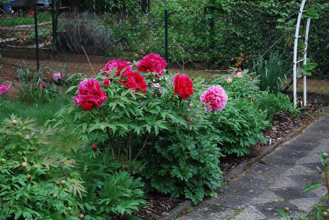 Pivoine arbustive paeonia suffruticosa for Au jardin des malentendus