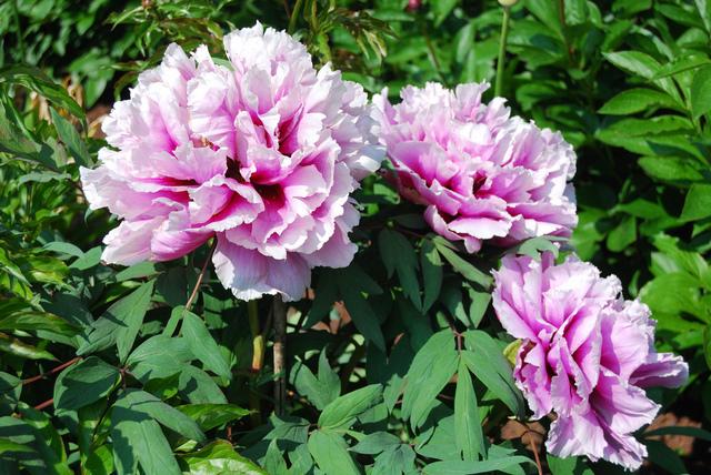 Pivoine arbustive - Paeonia suffruticosa